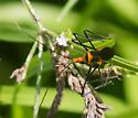 Black and orange assassin bug - Zelus longipes
