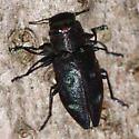 Buprestid - Chrysobothris azurea