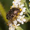 Euphoria sepulcralis - Dark Flower Scarab? - Euphoria sepulcralis
