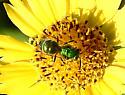 green Halictidae bee ? - Augochloropsis