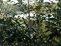 Large spider - Argiope trifasciata