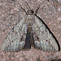 Angus' underwing - Hodges#8783 - Catocala angusi