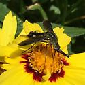 Interesting fly - Lepidophora