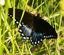 Spicebush Swalowtail - Papilio troilus