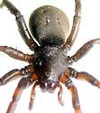 Black ground - Gnaphosa parvula - female