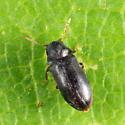 Anobiinae - Petalium