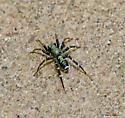 Spider id. - Castianeira
