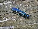 Blue Mud Wasp - Chalybion californicum