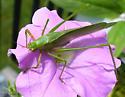 Scudderia furcata or fasciata? - Scudderia - female