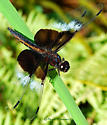 Widow Skimmer Dragonfly (Libellula luctuosa) - Juvenile Male  - Libellula luctuosa - male
