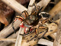 Jumping Spider - Habronattus americanus
