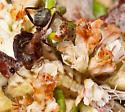 Euphilotes battoides larva - Euphilotes battoides
