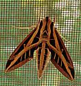 Another Xylophane?? - Eumorpha fasciatus
