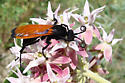 Wasp? - Hemipepsis ustulata - female