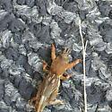 Unknown- Beetle? - Neocurtilla hexadactyla - female