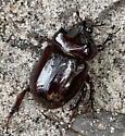 beetle - Strategus