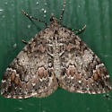 Dark-marbled Carpet - Dysstroma citrata