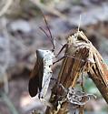 bug - Acanthocephala declivis