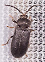 Beetle for ID - Cerophytum pulsator