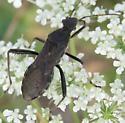 alydid - Alydus eurinus
