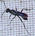 Chalybion californicum - Chalybion californicum