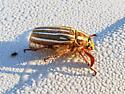 Ten lined June Beetle - Polyphylla decemlineata - Female - Polyphylla decemlineata - female
