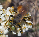 Square-headed wasp? - Tachytes - female