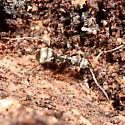 Camponotus pennsylvanicus? - Formica subsericea