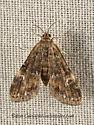 9053513 moth - Elophila obliteralis