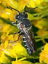Male Cuckoo Leafcutter Bee - Coelioxys sayi - male