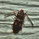 Unknown Beetle - Laemophloeus biguttatus