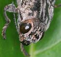 Metallic Wood-boring Beetle - Chalcophora virginiensis