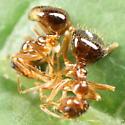 Ant cluster - Prenolepis imparis
