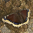 Mourning Cloak, out on a Sunny Winter Day - Nymphalis antiopa