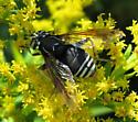 Spilomyia sp - Spilomyia fusca