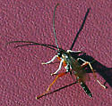 Braconidae? - Dolichomitus irritator - male