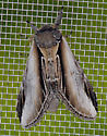Pheosia rimosa