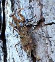 ___praying mantis - Gonatista grisea - female