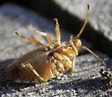 Shield bug? - Elasmucha lateralis