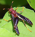 Which species of polistes is this? - Polistes annularis