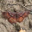 Geometridae: Leptostales rubomarginaria - Leptostales rubromarginaria - male