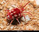 Giant Velvet Mite - Dinothrombium