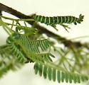 Ptenus bicolor larva  - Zynzus bicolor