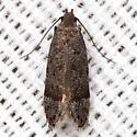 Anacampsis Moth - Hodges #2233 - Anacampsis conclusella
