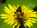 bumblebee - Andrena