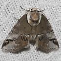 Moth unknown - Baileya australis