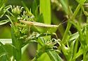 Meadow Katydid - Conocephalus fasciatus - female