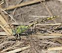Pale Snaketail - Ophiogomphus severus