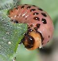 Larva of ? - Leptinotarsa decemlineata