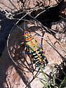 Dactylotum sp - Dactylotum bicolor - female